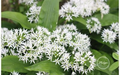 Deep fried Wild Garlic flowers recipe